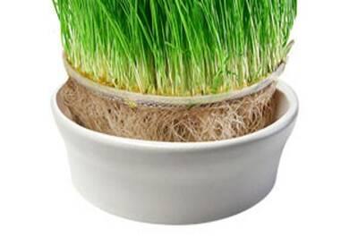 pěstování mladých trav